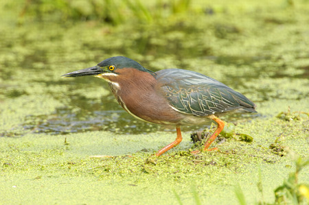 cay: Green Heron (Butorides virescens),  Green Cay Nature A
