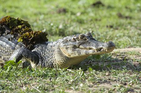 reptilia: Yacare Caiman (Caiman yacare),  The Pantanal, Mato Grosso, Brazil