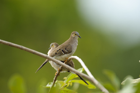 campestris: Long-tailed Ground-Dove (Uropelia campestris), Araras Ecolodge,  Mato Grosso, Brazil ( ) Stock Photo