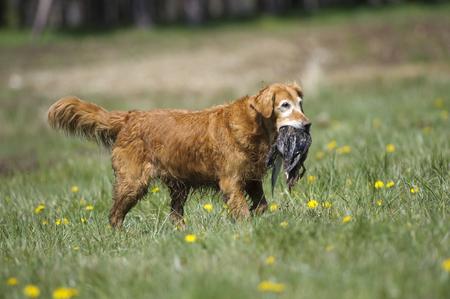 gundog: Retriever gundog trials, British Columbia, Canada