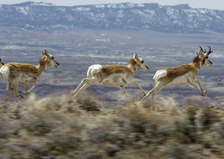 flee: Pronghorn Antelope (Antilocapra americana), Sand Wash Basin, Colorado, USA