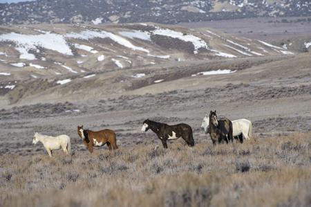 desert ecosystem: Wild horse - Mustang-  (equus caballus), Sand Wash Basin, Colorado, USA