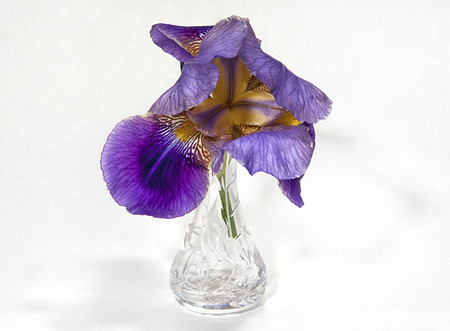 cut glass: Iris Lent A Williamson (Iridaceae) in a cut glass vase against a white background