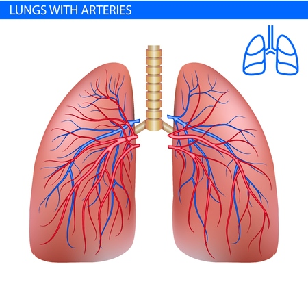 Human lungs anatomy with artery, circulatory system realistic illustration front view in detail. Lunge exercise. Right and left lung with trachea. Healthy lung. Respiratory system. Illustration