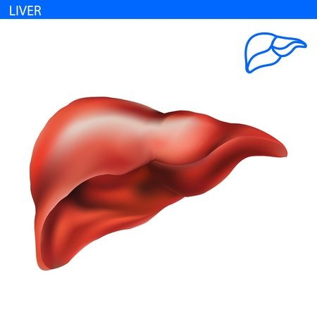 Human Liver anatomy realistic illustration front view in detail. Liver exercise isolated on white 3D illustration style. Healthy Liver. Digestive system. Vectores