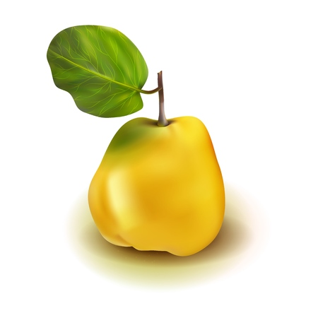 Realistic photo quince apple pear 3d vector fruit with leaves isolated on white background. Cydonia oblonga in the family Rosaceae. Illustration