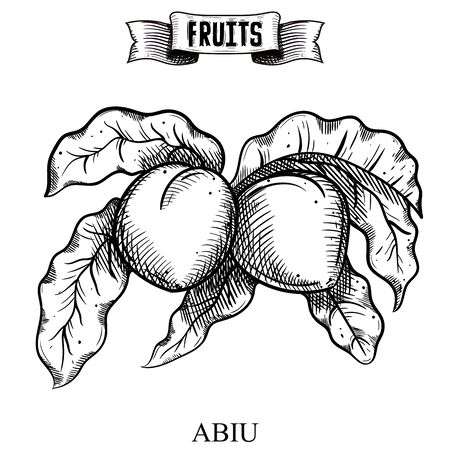 Vintage chalk hand drawn vector illustration of isolated fruit. Abiu, Pouteria caimito. Exotic and garden product collection for kitchen and restaurant design