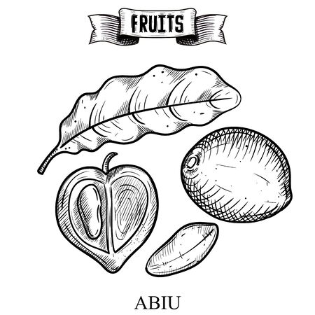 Pen hand drawn sketch, antique style vector illustration of isolated fruit. Abiu, Pouteria caimito. Exotic elements collection for fabric and interior wallpaper design
