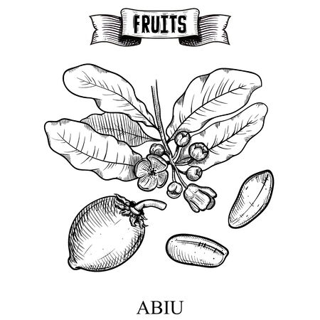 Antique Ink hand drawn vector illustration of isolated fruit. Abiu, Pouteria caimito. Decorative collection farm product for fabric and interior wallpaper design Иллюстрация