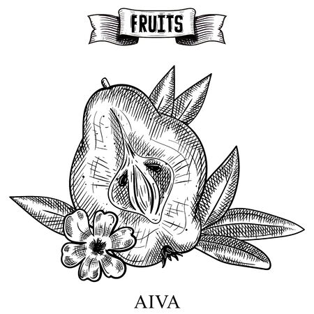 Sketch hand drawn vintage vector artwork of isolated fruit. Cydonia, aiva Garden product collection for restaurant menu and booklet design