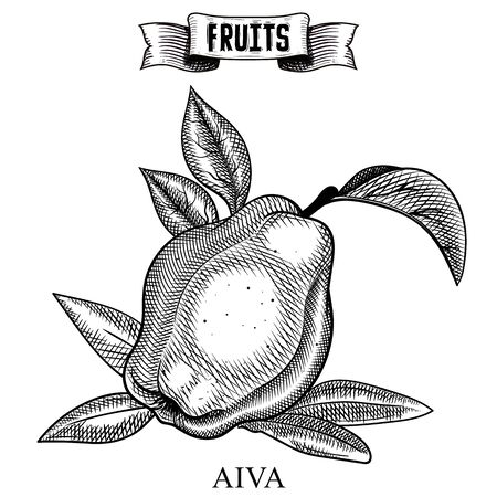 Sketch hand drawn vintage vector artwork of isolated fruit. Cydonia, aiva. Garden product collection for restaurant menu and booklet design Иллюстрация