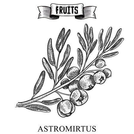 Retro style ink sketch hand drawn vector artwork of isolated fruit. Austromyrtus dulcis, the midgen berry or midyim. Exotic garden product collection for kitchen and restaurant design