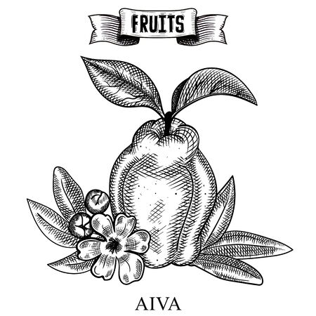 Ink line hand drawn retro vector illustration of isolated fruit. Cydonia, aiva Healthy food art easy customizing for flyers and posters