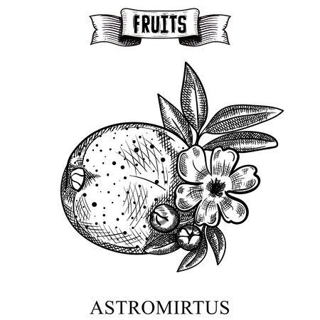 Ink line hand drawn retro vector illustration of isolated fruit. Austromyrtus dulcis, the midgen berry or midyim. Farm market produce. Food elements collection for design