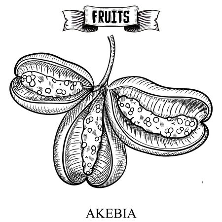 Antique pen hand drawn sketchy vector illustration of isolated fruit. Akebia quinata, akebi, Vegan diet product for trendy banner and background