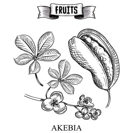 Highly detailed Ink hand drawn vector illustration of isolated fruit. Akebia quinata, akebi, Vitamin healthy eco product for trendy medicine and cosmetics banner