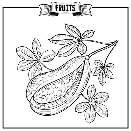 Hand drawn chalk vintage style illustration of Abiu, Pouteria caimito Vitamin and healthy eco food