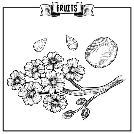 Retro style ink sketch hand drawn vector artwork of isolated fruit. Prunus Armeniaca mandshurica, apricot Exotic garden product collection for kitchen and restaurant design.