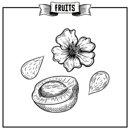 Doodle chalk hand drawn vector sketch of isolated fruit. Prunus Armeniaca mandshurica, apricot Harvest elements collection easy customizing for medicine design.