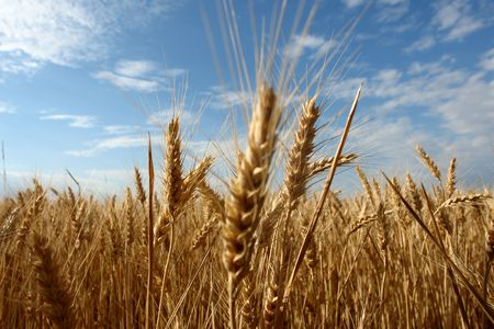 wheat filed in summer