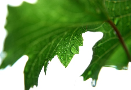 raindrops on a grape leaf closeup Stock Photo
