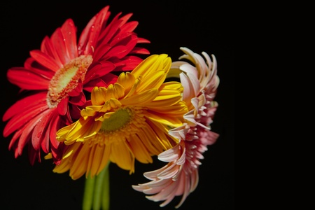 red, yellow and pink gerbera bouquet on black background
