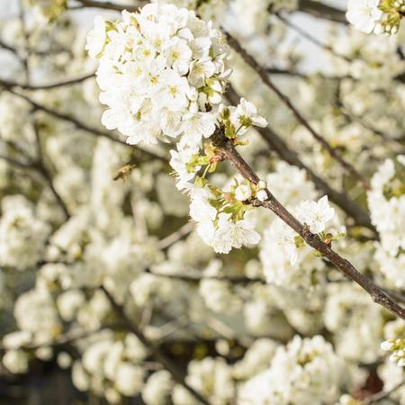 Cherry blossom... Stock Photo