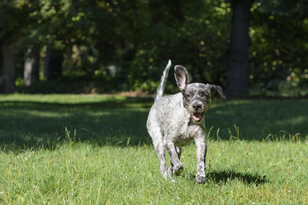 Dog running through the field of grass in the park. Selective focus. Stock Photo