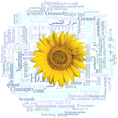 Sunflower head on a beautiful word cloud with the word Sunflower (species Helianthus annuus) written in fifty-nine different languages of the world.