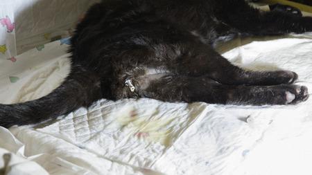 urinary catheter: Feline urinary syndrome. Cat is urinating through catheter. Stock Photo