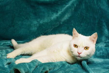 Beautiful white tomcat is lying on an aquamarine blanket. Selective focus on his head.