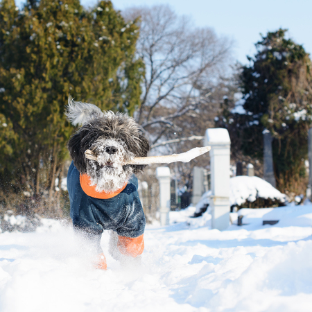 Dog dressed in a winter coat is fetching a stick. Its hairy muzzle is full of snow. An old cemetery covered with snow, naked tree branches and conifer trees are visible in a blurry background.