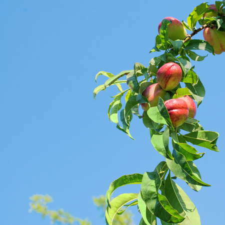 Branch of a nectarine tree full of ripe fruits, against a bright blue sky.