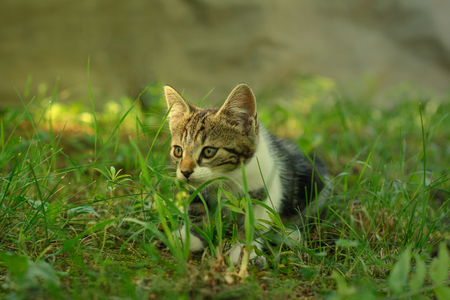 Beautiful domestic kitten is lurking in a grass. The kitty, hiding out in the shade, is partially lit by the warm sunlight. Фото со стока