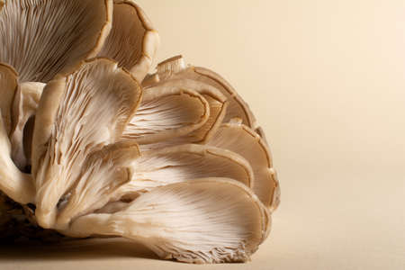 An overlapping oyster mushrooms with their fleshy gills and rudimentary stipes on a light ocher background. There is a lot of copy space beside.