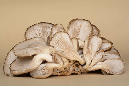 Oyster mushrooms are a type of edible fungi. Fruiting bodies of fungi with their fleshy gills (hymenium) are lying on a ocher background.