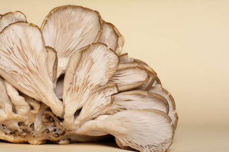 Fleshy gills and rudimentary stipes of oyster mushrooms.