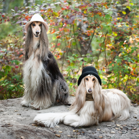 grooming: Portrait of two Afghan greyhounds, beautiful, dog show appearance. Beauty salon, grooming, dog care, hairstyles for dogs, dog stylist