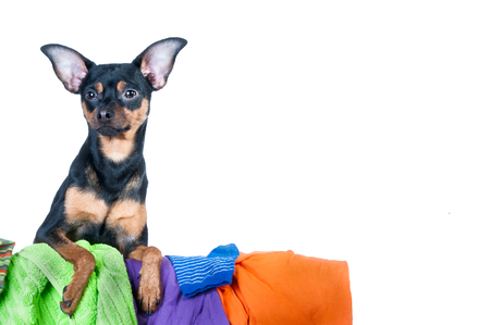 Dog mess. Dog, puppy, toy Terrier made a mess of the clothes. On a white background Stock Photo