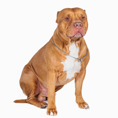 Pit bull isolated. Dog portrait