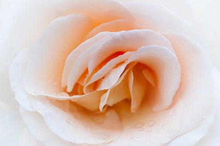 Cream rose macro. Greeting card, greeting, background, texture. Flower pattern. Stock Photo