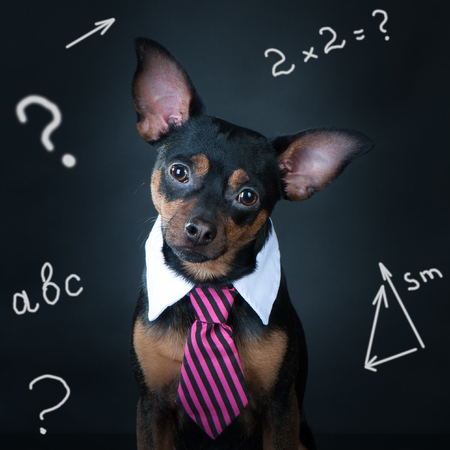 A dog, toyterrier a tie and a white collar. Education, training of dogs. student, schoolboy