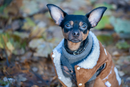 Hond, een speelgoedterriër, een stijlvol geklede kleine hond in een trui en een jas van schapenvacht, tegen de achtergrond van de late herfst. Kleding voor honden.