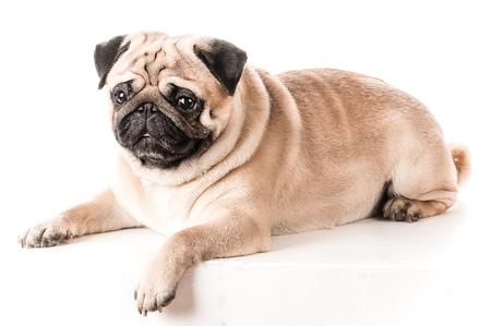 Beautiful pug lying on sofa, isolated on white