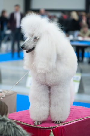 White Standard Poodle at the Dog Show, , grooming on the table