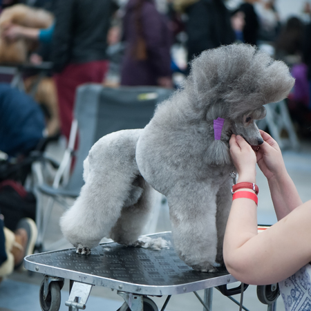 Grey Standard Poodle at the Dog Show, , grooming on the table