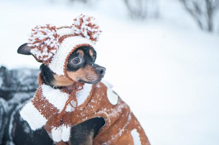 Chiot mignon, chien, terrier jouet en écharpe, macro portrait, nouvel an, Noël. Il y a une neige blanche et pelucheuse. Carte de Noël, équipe d'hiver Banque d'images - 92422531
