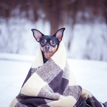A dog wrapped in a plaid in a winter forest. Zen, meditation, yoga, enjoyment of nature and winter