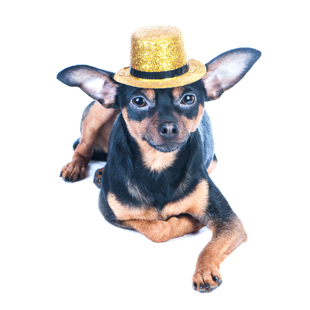 Puppy, dog, toy terrier  in gold hat isolated . Portrait of dog. Ladies and gentlemen. The concept of duality. Toy terrier in a hat.