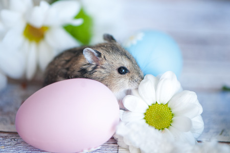 Hamster, junggar in the flowers of chamomiles and with Easter eggs Easter theme Stock Photo